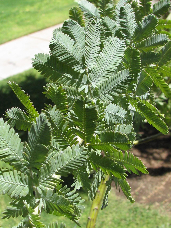 Find Trees Learn University Of Arizona Campus Arboretum