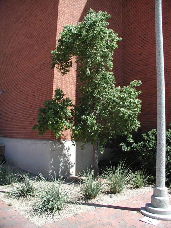 Find Trees Amp Learn University Of Arizona Campus Arboretum