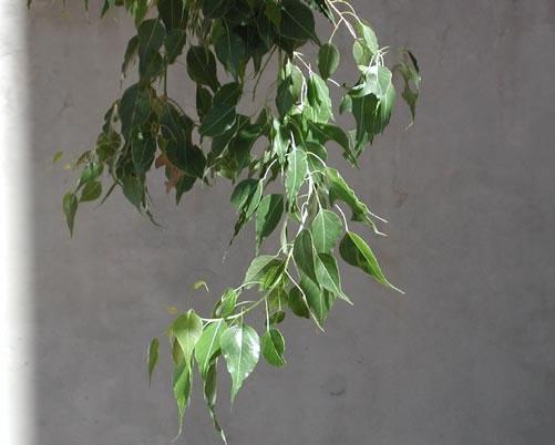 Bra Pop Lvs Kurrajong Tree Characteristics