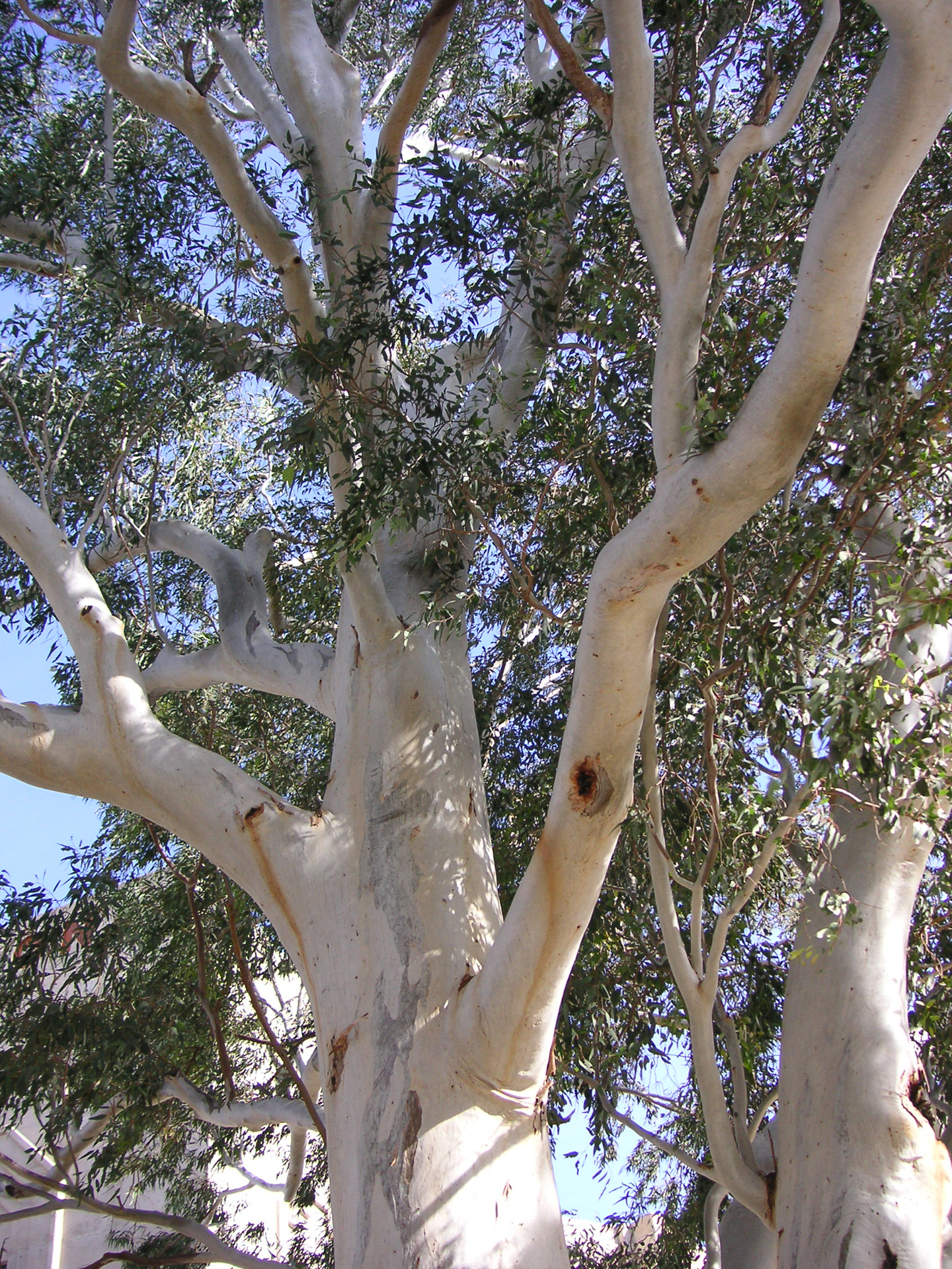 Which Trees Are Used To Make Paper: University Of Arizona Campus Arboretum