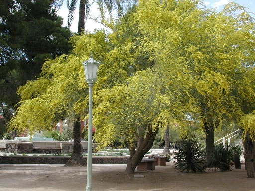 Find trees learn university of arizona campus arboretum parkinsonia florida mightylinksfo